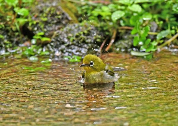 メジロ幼鳥水浴び5 DSN_5956