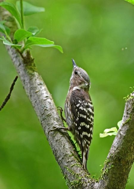 コゲラ幼鳥1 DSN_6102