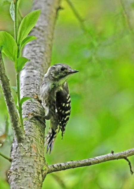 コゲラ幼鳥2 DSN_6098