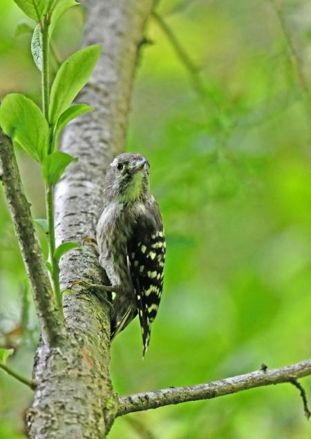 コゲラ幼鳥4 DSN_6097