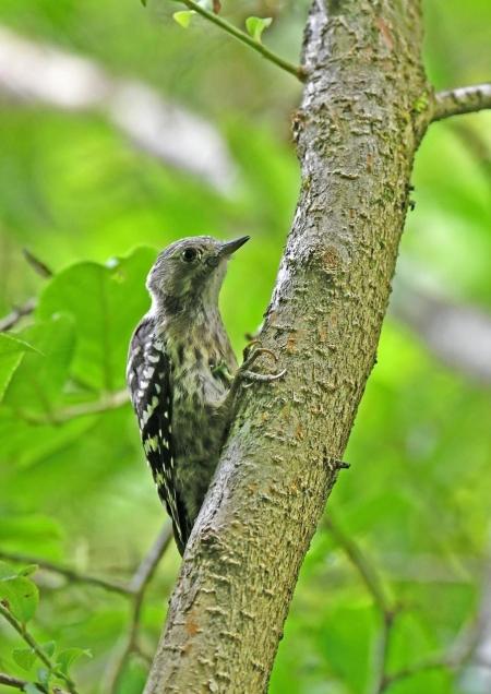 コゲラ幼鳥5 DSN_6113