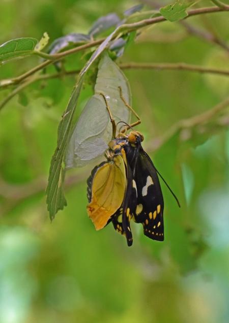 オオムラサキ雌羽化 DSF_9484
