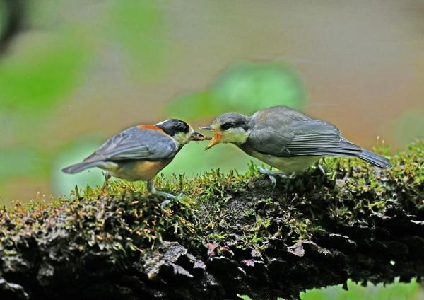ヤマガラ幼鳥 DSN_3560
