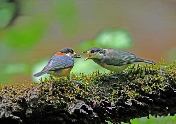 ヤマガラ幼鳥 DSN_3575