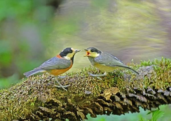 ヤマガラ幼鳥 DSN_5004