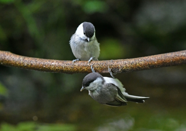 コガラ幼鳥 DSN_1602