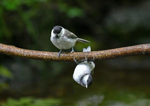 コガラ幼鳥 DSN_1612