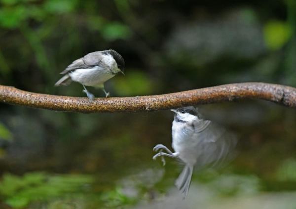 コガラ幼鳥 DSN_1615
