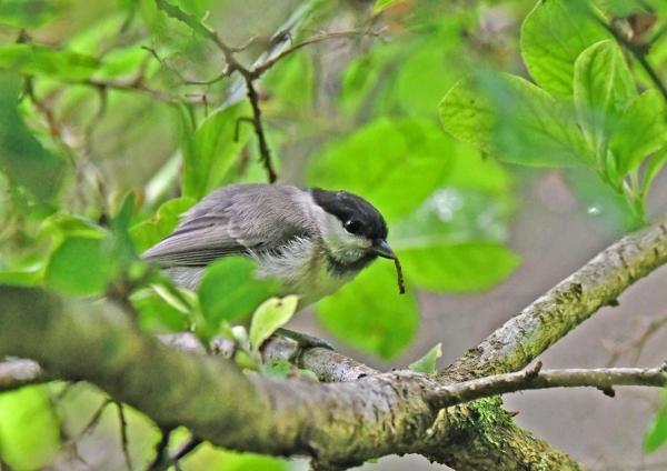コガラ幼鳥 DSN_1856