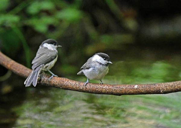 コガラ幼鳥 DSN_2917