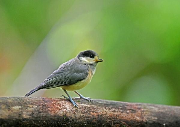 ヤマガラ幼鳥 DSN_2980