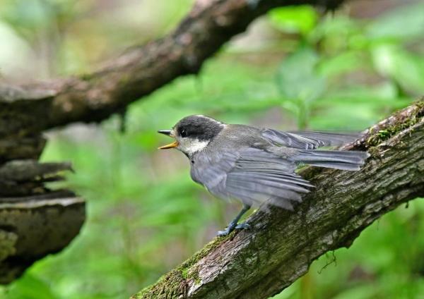ヤマガラ幼鳥 DSN_4936