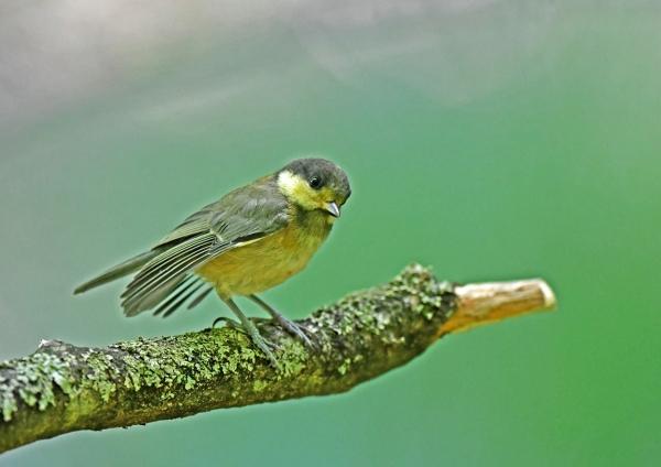 ヤマガラ幼鳥 DSN_4956