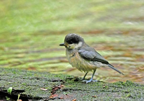 ヤマガラ幼鳥 DSN_6148