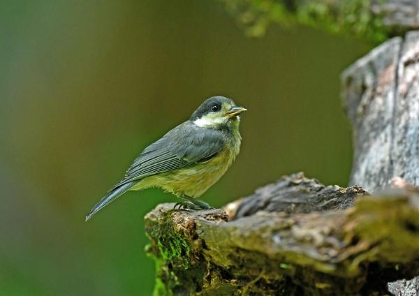 ヤマガラ幼鳥 DSN_8064