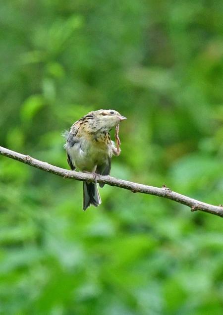 ホオアカ幼鳥 DSO_3223