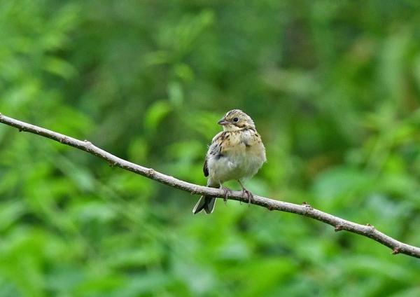 ホオアカ幼鳥 DSO_3235