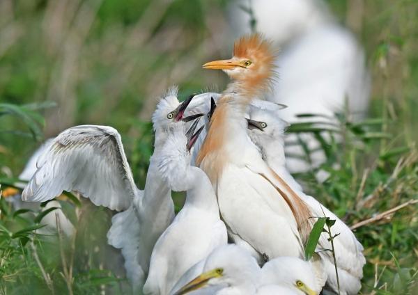 アマサギ幼鳥4 DSO_1663
