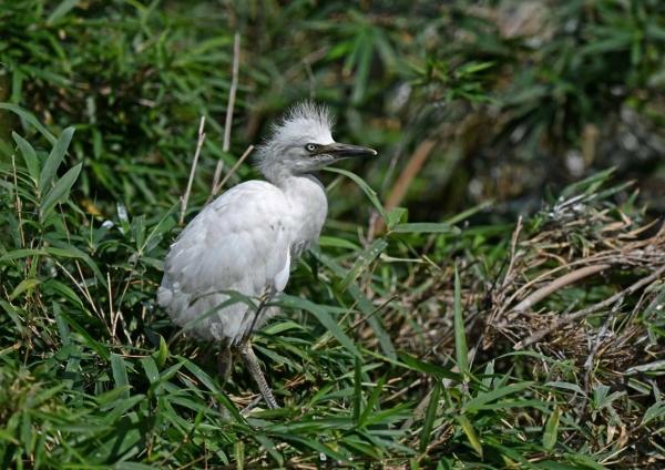 アマサギ幼鳥5 DSO_2251
