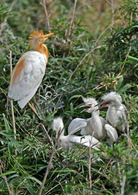 アマサギ幼鳥3 DSO_1965