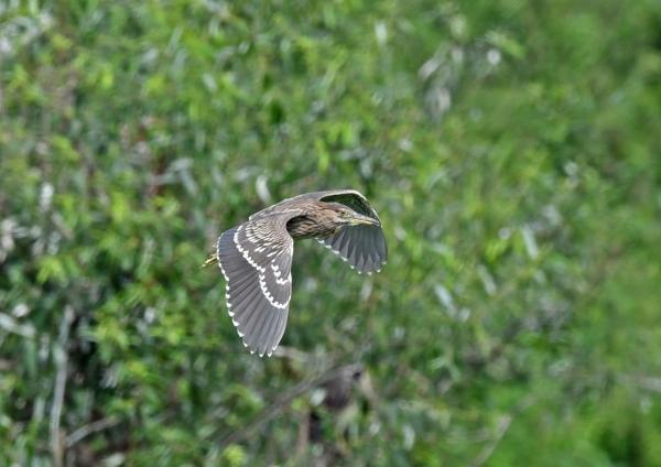 ゴイサギ幼鳥4 DSO_2154