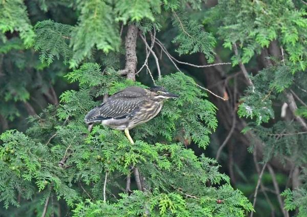 ササゴイ幼鳥1 DSN_8719