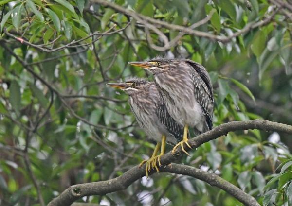 ササゴイ幼鳥2 DSO_3792