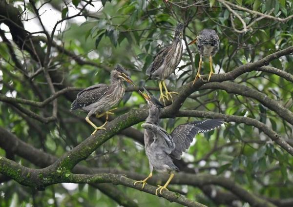 ササゴイ幼鳥3 DSO_3821