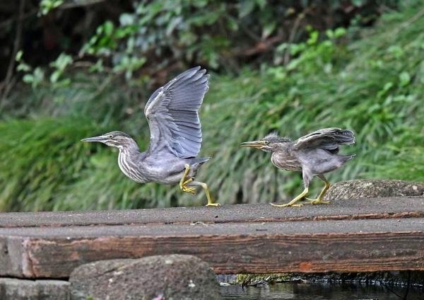 ササゴイ幼鳥4 DSN_8828