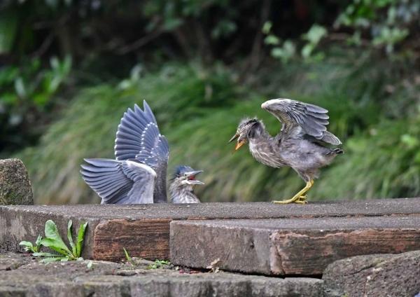 ササゴイ幼鳥5 DSN_8832