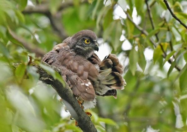 アオバズク幼鳥5 DSO_6016