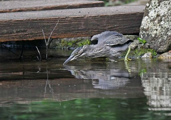 ササゴイ幼鳥 DSN_8916