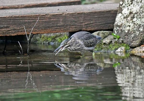 ササゴイ幼鳥 DSN_8920