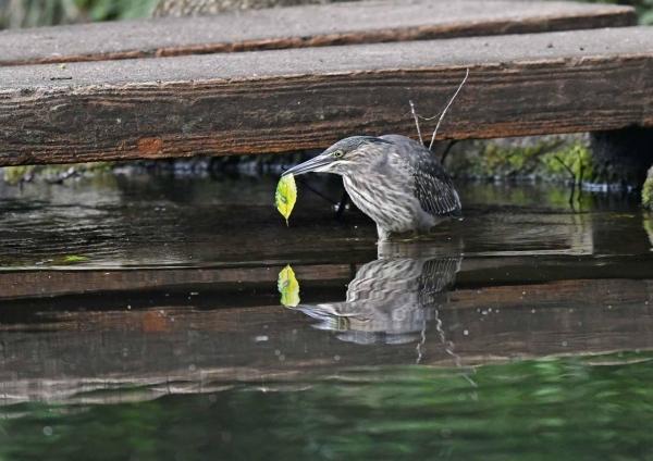 ササゴイ幼鳥 DSN_8963