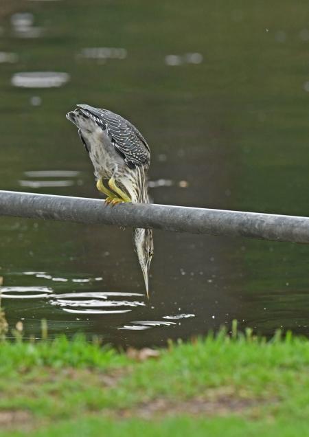 ササゴイ幼鳥 DSN_8656