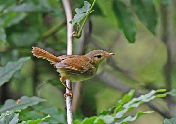 ウグイス幼鳥3 DSO_9057