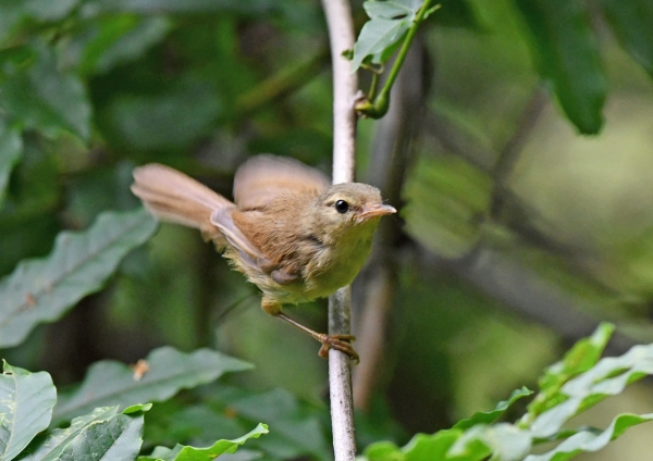 ウグイス幼鳥5 DSO_9046