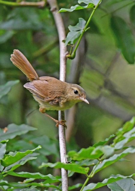 ウグイス幼鳥1 DSO_9050