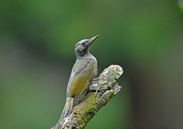 アオゲラ幼鳥2 DSO_9652