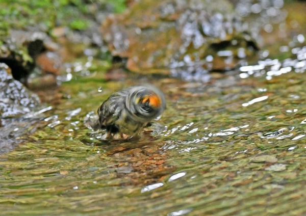 キクイタダキ水浴び4 DSN_4776