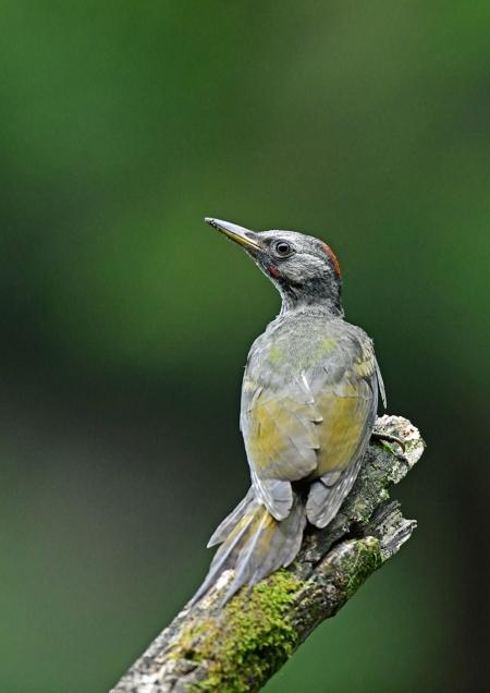 アオゲラ幼鳥3 DSO_9659