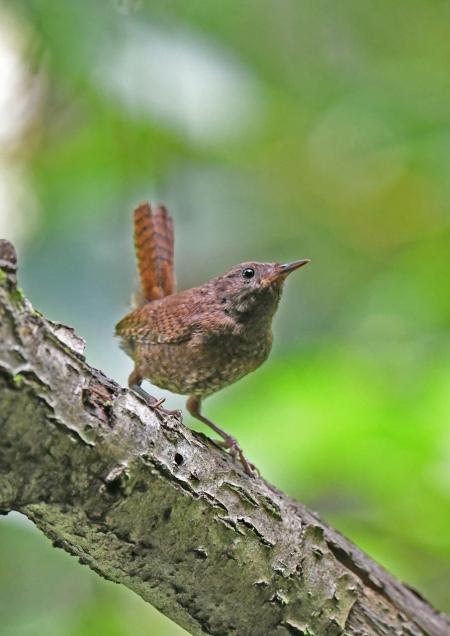 ミソサザイ幼鳥1 DSP_0175