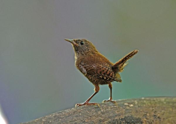 ミソサザイ幼鳥2 DSP_1541