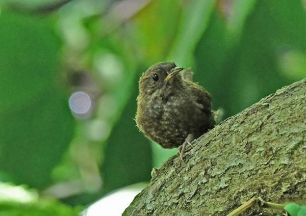 ミソサザイ幼鳥3 DSP_0750