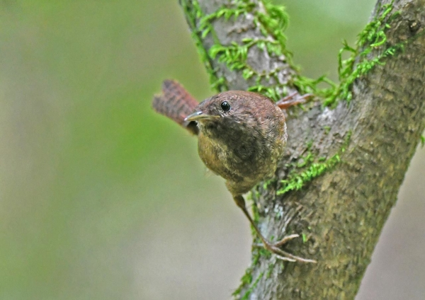 ミソサザイ幼鳥4 DSP_0162