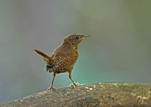 ミソサザイ幼鳥5 DSP_1551
