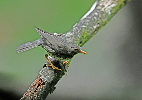 クロツグミ雌2 DSN_4109