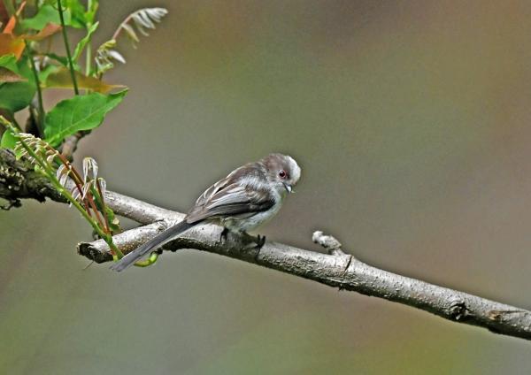 エナガ幼鳥2 DSN_4041