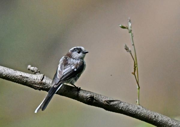 エナガ幼鳥4 DSO_8286