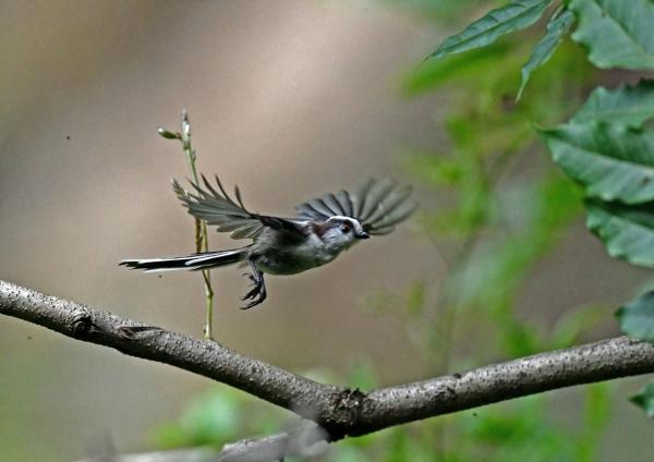 エナガ幼鳥5 DSO_8318